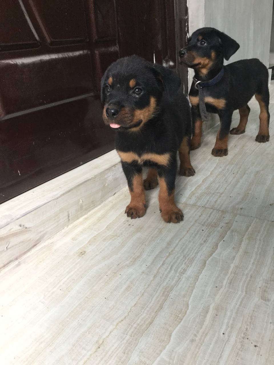 1-3 Month Male Purebred Rottweiler | Dogs & Puppies for sale in Lagos State, Yaba